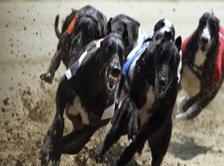 Greyhound Racing Forum