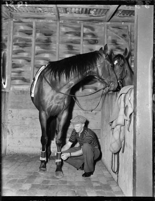 11 Jan 1951 The racehorse Beaumaris in training(7).jpg